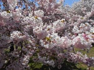 Cherry Blossoms 2013 002