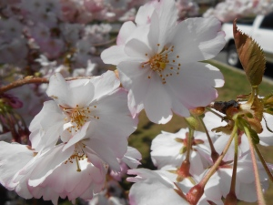 Cherry Blossoms 2013 004