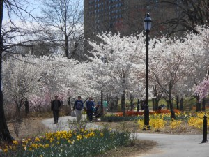 Cherry Blossoms 2013 029